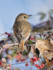 Hermit Thrush on Toyon berry bush (Patrick Dirlam) Tags: trips northcounty landbirds birds hermit thrush toyon berry bush