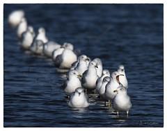 Standing in Line for a Flock of Seagulls Concert (Nikon66) Tags: seagulls flockofseagulls gulls clarencecannonnationalwildliferefuge pikecounty missouri nikon d850 600mmnikkor