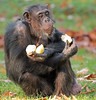 chimpanzee Burgerszoo BB2A6471 (j.a.kok) Tags: chimpanzee chimpansee aap ape monkey burgerszoo animal africa mammal mensaap primaat primate zoogdier dier