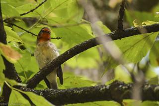 Lifer Red-faced Warbler [Explored]
