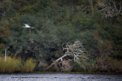 Silly String (gseloff) Tags: tricoloredheron bird flight bif poop water mudlake pasadena texas kayakphotography gseloff