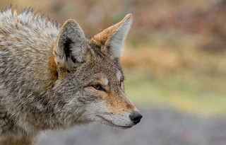Coyote (Canis latrans) hunting in the rain - Richmond, BC