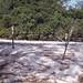 Beach above high water mark. Full of turtle nests. Sideroxylon inerme, sapotaceae bushes