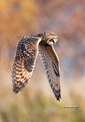 DB7_5759 (DouglasJBrown) Tags: shortearedowl nature nikonafsnikkor300mmf28gedvrii birdsinbc owl djbphoto