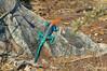 African Safari. Rainbow Agama. (Lena and Igor) Tags: safari travel africa tanzania ruaha lizard rainbow agama rock reptile colorful sunlit dslr cropsensor apsc nikon d5300 nikkor 18300 dx