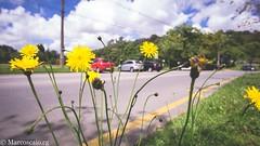 (muhasore) Tags: sony sonyalpha sonya6000 a6000 rokinon12mmf2 samyang12mmf2 tinguii parque park curitiba cwb brasil brazil outdoors outdoor yellow amarelo flor flower sky céu azul blue