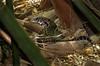 teiú - Salvator merianae (Edson Roberto - Potim) Tags: teiú salvatormerianae lagarto teiidae tupinambismerianae lizard tegu argentineblackandwhitetegu