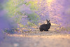 Wild black rabbit (Kristian Bell) Tags: mammal rabbit wild domestic animal jersey lavender flowers summer canon kris kristian bell bunny