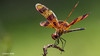Halloween Pennant (Dragonfly) (EdwinWilke) Tags: dragonfly halloweenpennant