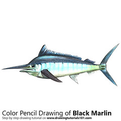 Black Marlin with Color Pencils [Time Lapse] (drawingtutorials101.com) Tags: black marlin marlins fishes istiompax indica animals sketching sketch draw sketches pencil drawing drawings how drarw color timelapse video colors