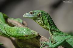 It takes two to tango (Rene Mensen) Tags: reptile emmen thenetherlands drenthe wildlands animals nature d5100 dierentuin dierenpark zoo rene mensen