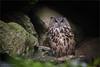 Bubo bubo (klaus.huppertz) Tags: neuschönau owl bird vogel vögel aves uhu tier animal eule outdoor natur nature eagleowl eurasianeagleowl nikon nikkor 300mm nikond750 d750 tele telephoto bavarianforest bayerischerwald nationalpark 300mmf28gvrii nikkor300mm28 nikonafsvrnikkor300mmf28gifed captive bubobubo
