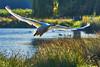 Take Off (paulinuk99999 (lback to photography at last!)) Tags: paulinuk99999 sun water takeoff flying london surrey wildlife sal70400g