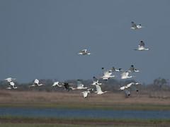 White Ibis  (Eudocimus albus) (Howard Patterson) Tags: texas aransasnwr whiteibis