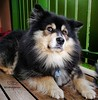 Be careful! Never touch a dog without permission. (evakongshavn) Tags: 7dwf crazytuesdaytheme becareful dog dogs guarddog dogsonadventures snowdog dogschilling dogportrait flickrdogs dogphotography dogsthathike finnishlapphund suomenlapinkoira lappie lapphund lapinkoira beautiful gorgeous bestdogever bestfriendsforever bestdog dogsofnorway expression face portrait petportraits animal animalportrait animals pup puppy petphotography pet pets photo photoshoot photooftoday photooftheday fineartphotography photography outdoorphotography photos unconditionallove unlimitedphotos