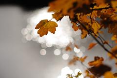 Autumn impressions II (Ir3nicus) Tags: 85mm14g ausen blätter herbst nahaufnahme natur see wasser geldern nordrheinwestfalen deutschland de afsnikkor85mm114g germany outdoor boeckelt heitkampsee nikon d700 dslr fullframe fx leaf leaves blatt autumn closeup nature lake water bokeh lichtreflexion reflectionoflight