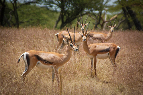 Ethiopian gazelles obviously concerned by the foreign intruder.