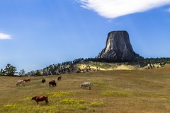 Devils Tower (famasonjr) Tags: crookcounty devilstower wyoming green cattle longhorns long horns bison buffalo grazing butte laccolithic bearlodgemountains hulett sundance united states national monument igneous rock climbing canonef28135mmf3556isusm canon eos 7d