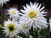 Dahlie an einem Regentag (ingrid eulenfan) Tags: garten natur pflanze blume dahlie
