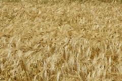 Le blé (godran25) Tags: france bourgogne burgundy côtedor agriculture céréales blé jaune yellow