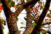 Woodpecker on a bare tree! (chrisivuk) Tags: bird tree fall autumn woodpecker bare yellow red
