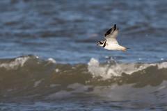 Ringed Plover in Flight (andybam1955) Tags: coastal birds northnorfolk wildlife ringedplover norfolk birdsinflight