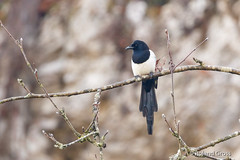 Elster 1 (rgr_944) Tags: bird animals tiere outdoor natur animaux vögel oiseau vogel rgr944 canoneos80deos7dmk2eos5dmk4 animal wildlife tier