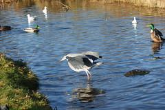 DSC03755 (The Unofficial Photographer (CFB)) Tags: deardiarynovember2017 bushypark autumn heron featheredfriends royalparks