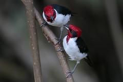 Masked Cardinal (Greg Lavaty Photography) Tags: maskedcardinal paroarianigrogenis trinidad november caroniswamp tropical tropics neotropical photographytour birdphotography outdoors bird nature wildlife