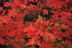 Red - 8937b+ (teagden) Tags: red leaves redleaves fall fallcolors autumn autumncolors autumnscene jenniferhall jenhall jenhallphotography photography nikon idaho