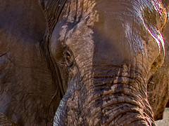 1C5A1533.jpg (donnatopham) Tags: botswana laroolatau elephants