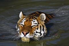 Sibirischer Tiger (Michael Döring) Tags: gelsenkirchen bismarck zoomerlebnsiwelt zoo goldeneroktober armurtiger sibirischertiger afs200500mm56e d7200 michaeladöring