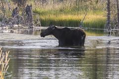 Moose in Grand Teton NP, USA (birgitmischewski) Tags: moose grandteton grandtetonnp teton nationalpark grandtetonnationalpark