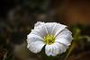 Monsonia vanderietiae (mellting) Tags: andrastäder gbgbotaniska göteborg nikond500 platser bloggad flickr göteborgsbotaniskaträdgård instagram matsellting mellting nikon sigma70300456 sverige sweden monsoniavanderietiae monsonia flower plant gothenburgbotanicalgarden