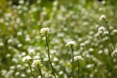 bed of bokeh (cheezepleaze) Tags: flowers summer nature bokeh warm bloom hss