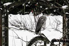 Hard Times for Mr. Heron (ursulamller900) Tags: graureiher heron mygarden winter vogel bird schnee snow