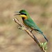 African Safari. Little bee-eater.