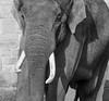 Tusker (tubblesnap) Tags: chester zoo animals fuji xs1 tubblesnap elephant tusker tusks bw black white mono monochrome
