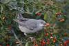 Barred Warbler (S.G.Davis) Tags: barred warbler hampshire 2017 scarce migrant