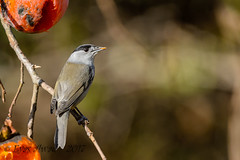 xxD40_3786 (Eyas Awad) Tags: eyasawad nikond4 sigma500f45 nikond800 nikonafs300mmf4 bird birds birdwatching wildlife nature capinera sylviaatricapilla