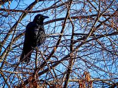 Crow Amongst the Branches (garryknight) Tags: creativecommons cybershot dschx60v hydepark lightroom london on1photoraw2018 sony bird corvid crow tree