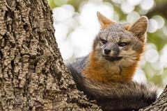 Gray Fox up in a Tree (philbutlerphoto) Tags: gray fox austin texas atx urban wildlife urocyon cinereoargenteus oak tree bokeh nikon d7100 sigma portrait animal