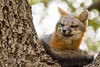 Gray Fox up in a Tree (philbutlerphoto) Tags: gray fox austin texas atx urban wildlife urocyon cinereoargenteus oak tree bokeh nikon d7100 sigma portrait animal