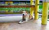 ,, Happy Dog ,, (Jon in Thailand) Tags: purple yellow green thaibangkaewdog bangkaewdog dj dog k9 themonkeytemple hooligandog jungle spotteddog deepjungle nikon nikkor d300 175528 happydog sillydog dogtail smilingdog dogsmile dogtongue pinktongue dogears dogeyes dognose handrail reflection swamp funnydog littledoglaughedstories
