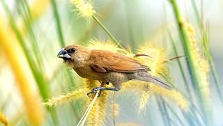 Sparrow on a stalk