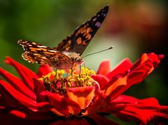 Knee-deep in Yellow (Portraying Life, LLC) Tags: dbg6 da3004 hd14tc k1 michigan pentax ricoh unitedstates butterfly closecrop handheld nativelighting garden zinnia