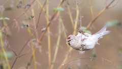 Male Mealy Redpoll (robert.lindholm87) Tags: nikon d500 200500 bird redpoll birds animal poll red forehead nature hanging sweden winter