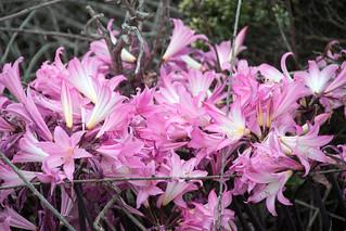 naked lady lily Amaryllis belladonna