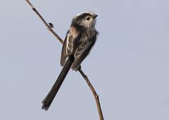 Long-tailed Tit (Steve Ashton Wildlife Images) Tags: long tailed tit longtailedtit grove ferry groveferry kent longtailed aegithalos caudatus aegithaloscaudatus