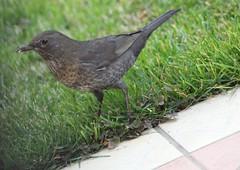 Bird. #bird #merlo #nature #canon1300d #tamronlens (riccardomichieletto1) Tags: nature tamronlens bird canon1300d merlo